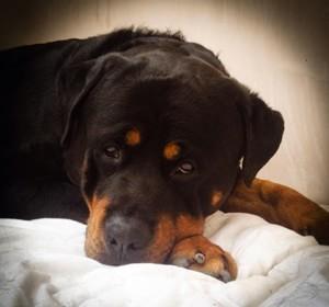 Dexter Resting - Dog Walking - High Wycombe
