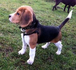 Dog Walking - High Wycombe